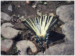 meeting little miracles (***étoile filante***) Tags: butterfly schmetterling tier animal natur nature riverside river flusufer fluss steine stones water wasser summer sommer miracle wunder beautiful beauty beauté emotions huawei phone closeup nahaufnahme augenblick moment life leben soul souldeep soulful iphiclidespodalirius segelfalter scarceswallowtail insect insekt