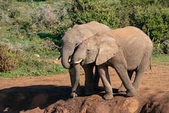 Drinking Elephants (J-F No) Tags: elephant elephants animals fauna nature wildlife africa south addo park sony a7rii tamron 150600mm safari