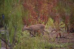 Young Deer (rq uk) Tags: rquk nikon d750 dintonpastures bitternhide deer nikond750 tamronspaf150600mmf563divcusd