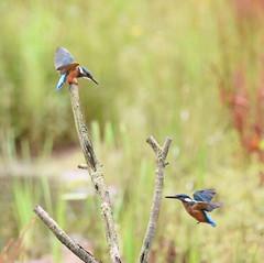 Two Kingfishers (rq uk) Tags: rquk nikon d750 dintonpastures bitternhide juvenile kingfisher nikond750 tamronspaf150600mmf563divcusd