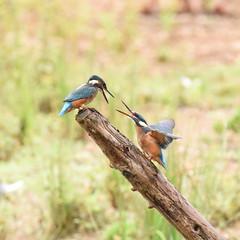 Juvenile Kingfishers Dueling - 2 (rq uk) Tags: rquk nikon d750 dintonpastures bitternhide juvenile kingfisher nikond750 tamronspaf150600mmf563divcusd