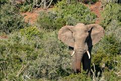 Bull Elephant (J-F No) Tags: elephants elephant animals fauna nature wildlife addo park africa south sony a7rii tamron 150600mm safari