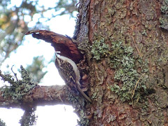 Treecreeper, 2018 Oct 29 -- photo 1 (Dunnock_D) Tags: britain gb glenmore highland highlands scotland scotspine uk unitedkingdom bark bird blue pine sky tree treecreeper trunk aviemore