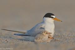 Least Tern with Chicks (NorthShoreTina) Tags: leasttern tern ternchick