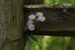 Daisies (Diane Marshman) Tags: daisy fleabane wildflower perennial native tiny small flower daisies purple petals yellow center tall plant summer blooms blooming macro weathered splitrail split rail fence post pa pennsylvania nature