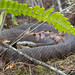 Water Moccasin (Cottonmouth)