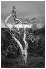_DSC0473-Mr (gillesporlier) Tags: tree arbre only seul monochrome nikon d750 sky ciel nuage cloud texture structure