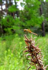 im Wald (ekeha) Tags: 190718 libelle macro
