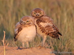 July 11, 2019 - Two cute burrowing owl owlets. (Bill Hutchinson)