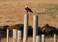 July 11, 2019 - A bald eagle keeps watch on the bison. (Bill Hutchinson)
