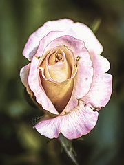 Precious Pinks (><Nessa><) Tags: 90mm macro macroflowers niagarafalls rose outside colors colour pink petals park botanicalgarden ontario green canon summer
