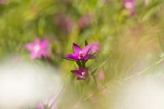 Crowea (louisa_catlover) Tags: karwarraaustraliannativebotanicgarden karwarra kalorama dandenongs melbourne australia australian native plant nature garden outdoor