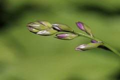 Hosta Buds (Diane Marshman) Tags: hosta flower bud buds preopening purple green color perennial garden landscape plant macro closeup summer pa pennsylvania nature