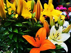 Colourful lily's (janettehall532) Tags: colourfullilys colourful vibrant vibrantcolours lily lilyflowers flowerphotography flower photography photo naturephotography nature naturelovers photographylovers petals flowersandcolours macrophotography macro macrolovers huaweip30pro huawei flickr flickrcentral lovenature beautyinnature natural botany botanical summerflower summerflowers floral flowerpetals gardenflowers