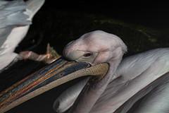 Big beak (annagari) Tags: nature photography wildbirds birds pelicans