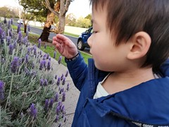 Liam smelling the lavender (avlxyz) Tags: