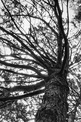 Coronation Pine #2 (KWPashuk (Thanks for >3M views)) Tags: sony alpha a6000 1650mm lightroom luminar luminar2018 luminar3 luminar31 kwpashuk kevinpashuk tree pine white monochrome mono park coronationpark coronation oakville ontario canada nature outdoors foliage