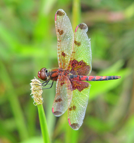 Calico pennant, male - in the wind