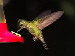 Bajo la luz del sol esta vez :-) Estos pequeños brillan al sol. (Andres Bertens) Tags: 9125 olympusem10markii olympusomdem10markii olympusm75300mmf4867ii olympusmzuikodigitaled75300mmf4867ii rawtherapee bird picaflor hummingbird sephanoidessephanoides