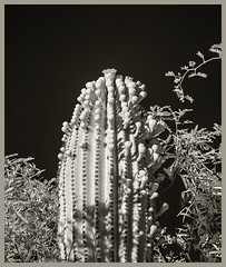 Sabino Canyon IR #42 2019; Flowers & Buds (hamsiksa) Tags: plants flora desertplants desert sonorandesert arizona tucson pimacounty xerophytes succulents cacti cactus cactaceae saguaros carnegieagigantea mesquite blackwhite infrared digitalinfrared infraredphotography
