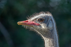 Ostrich portrait (J-F No) Tags: ostrich birds bird oiseaux aves wildlife nature fauna kwantu game reserve safari sony a7rii tamron 150600mm
