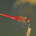 Red-tailed Pennant - Brachymesia furcata, SE Metro Park, Del Valle, Texas