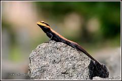 8964 - peninsular rock  agama , Yelagiri hills (chandrasekaran a 61 lakhs views Thanks to all.) Tags: peninsular rock agama lizard reptiles yelagiri nature tamilnadu india canon60d tamronsp150600mmg2 rockagama