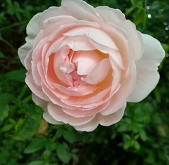Rose (daveandlyn1) Tags: flower rose adavidaustinpinkrose mygarden shrewsbury shropshireuk smartphone psdigitalcamera cameraphone pralx1 p8lite2017 huawei