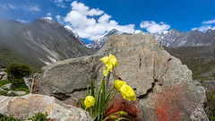 Meconopsis integrifolia ssp. integrifolia (Polylepis) Tags: ags2019 china greylake hunhaizi kangding sichuan yalalake papaveraceae poppy alpine granite glacial