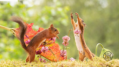 red squirrels reaching out with lily flowers (Geert Weggen) Tags: change nature wind springtime newlife freedom aspirations lifestyles luck flower wishing backgrounds concepts allergy summer pollen individuality seed season time environmentalconservation greencolor sunlight field nopeople flying enjoyment fragility meadow environment growth morning photography blossom seedling uncultivated weeding freshness beautyinnature copyspace horizontal plant midair plantstem redsquirrel squirrel animal smell reach lily red lilium bispgården jämtland sweden geert weggen hardeko ragunda