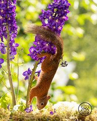Red squirrel standing up side down on purple Delphinium flowers (Geert Weggen) Tags: beauty blossom blue closeup colorimage delphinium extremecloseup field flower flowerhead flowerbed fragility greencolor growth herb leaf macrophotography multicolored nature nopeople outdoors perennial petal photography plant publicpark scenicsnature season spice springtime summer vertical vibrantcolor eurasianredsquirrel autumn animalwildlife animalsinthewild winter woodland squirrel rodent mammal garden young bispgården jämtland sweden geert weggen hardeko ragunda