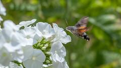 Papillon (clamar18) Tags: papillon mérysurcher fleur blanc insecte phlox jardin france butterffly