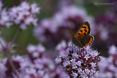 purple dreams plus orange (photos4dreams) Tags: gersprenz münster hessen germany naturschutz nabu naturschutzgebiet photos4dreams p4d photos4dreamz nature river bach flus susannahvictoriavergau susannahvvergau eventphotos4dreams butterfly butterflies canoneos5dmarkiii schmetterling schmetterlinge canoneos5dmark3 macrodreams