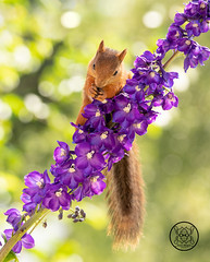 Red squirrel standing on purple Delphinium flowers (Geert Weggen) Tags: beauty blossom blue closeup colorimage delphinium extremecloseup field flower flowerhead flowerbed fragility greencolor growth herb leaf macrophotography multicolored nature nopeople outdoors perennial petal photography plant publicpark scenicsnature season spice springtime summer vertical vibrantcolor eurasianredsquirrel autumn animalwildlife animalsinthewild winter woodland squirrel rodent mammal garden young bispgården jämtland sweden geert weggen hardeko ragunda
