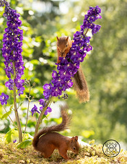 Red squirrels standing in purple Delphinium flowers (Geert Weggen) Tags: beauty blossom blue closeup colorimage delphinium extremecloseup field flower flowerhead flowerbed fragility greencolor growth herb leaf macrophotography multicolored nature nopeople outdoors perennial petal photography plant publicpark scenicsnature season spice springtime summer vertical vibrantcolor eurasianredsquirrel autumn animalwildlife animalsinthewild winter woodland squirrel rodent mammal garden young bispgården jämtland sweden geert weggen hardeko ragunda