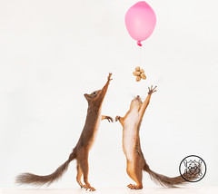 red squirrels reaching peanuts under an balloon (Geert Weggen) Tags: anatomy animal closeup colorimage cute food looking loveemotion mammal nature nopeople photography red rodent singleobject squirrel sweden table relax balloon reach birth celebrate fly away wind girl love joy happy party postcard birthday lookingup nut peanut pink bispgården jämtland geert weggen hardeko ragunda