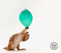 red squirrel holding a peanut under an balloon (Geert Weggen) Tags: anatomy animal closeup colorimage cute food looking loveemotion mammal nature nopeople photography red rodent singleobject squirrel sweden table relax balloon reach birth celebrate fly away wind girl love joy happy party postcard birthday lookingup nut peanut green bispgården jämtland geert weggen hardeko ragunda