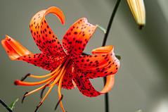 Tiger Lily at the Willamette Heritage Center (danialficek1) Tags: nikon d5000 50mm gobe nd flowers salem oregon willamette heritage center tiger lily