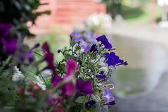 Petunias at the Willamette Heritage Center (danialficek1) Tags: nikon d5000 50mm gobe nd flowers salem oregon willamette heritage center petunia