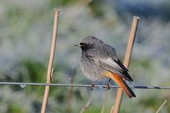 Black Redstart (Phoenicurus ochruros) - male (sdflickr2) Tags: blackredstart phoenicurusochruros male nottinghamshire january 2019