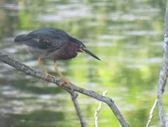 stalking mode (Cheryl Dunlop Molin) Tags: butoridesvirescens greenheron heron waterbirds bird