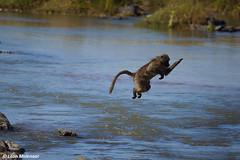 How to cross the Olifants River... (leendert3) Tags: leonmolenaar krugernationalpark naturereserve wildlife wilderness wildanimal nature naturalhabitat mammal chacmababoon naturethroughthelens ngc npc
