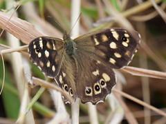Speckled wood (Nevrimski) Tags: speckled wood butterfly