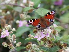 Peacock (Nevrimski) Tags: peacock butterfly bramble blackberry