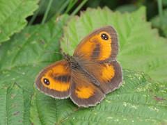 Gatekeeper (Nevrimski) Tags: gatekeeper butterfly