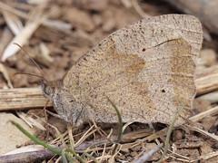 Meadow Brown (Nevrimski) Tags: meadow brown underwing butterfly