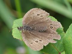 Ringlet - worse for wear... (Nevrimski) Tags: ringlet butterfly