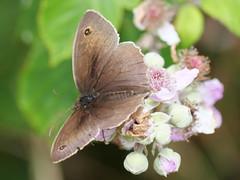 Meadow Brown (Nevrimski) Tags: meadow brown butterfly