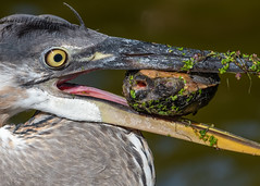 Shell-Shocked (PeterBrannon) Tags: ardeaherodias bird florida greatblueheron heron nature wildlife action turtle