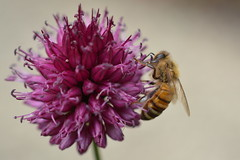 Honey Bee on Allium (suekelly52) Tags: allium flower plant insect bee honeybee macro